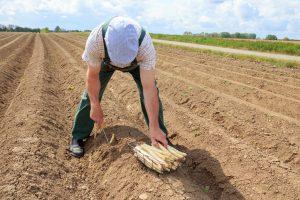 Coltivazione asparago bianco di Bassano